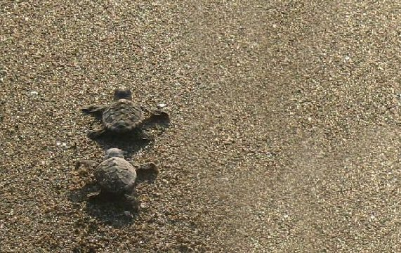 Journey of the loggerhead turtle