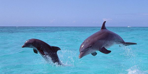 Turks and Caicos Islands wild dolphins