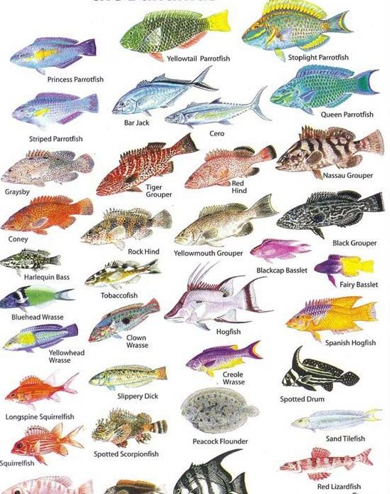 Fish identification turks and caicos islands